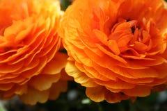 Flower, Orange, Close Up, Petal Stock Photography