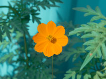 Flower orange cosmai. On a green background Stock Photos