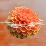 Flower, Orange, Dahlia, Petal Stock Photos
