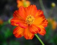 Flower. Orange daissy flower in the gardenOrange daissy flower in the garden Royalty Free Stock Photography