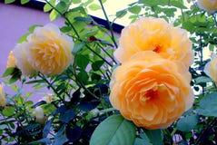 Flower. The orange flower in the garden Stock Photos