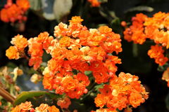 Flower. Orange flower Overlapping petals is beautiful Stock Images