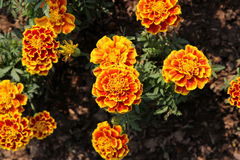 Flower. Orange Flower Overlapping petals beautiful natural in the world Stock Image