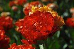 Flower, Orange, Petal, Close Up Royalty Free Stock Photography