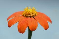 Flower, Orange, Petal, Flora Royalty Free Stock Photo