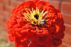 Flower, Orange, Petal, Gerbera Royalty Free Stock Images
