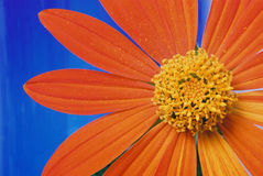 Flower and Orange Petals. Close-up photo of a yellow daisy Stock Photography