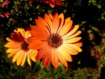 Flower and Orange Petals Royalty Free Stock Photography
