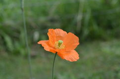 Flower of orange poppy. Orange flower of Papaver rupifragum Stock Photo