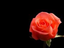 Orange rose. Isolated on black background stock images