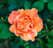 Flower orange rose Royalty Free Stock Photography