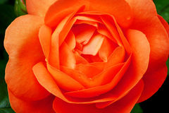 Flower of orange rose. royalty free stock photos