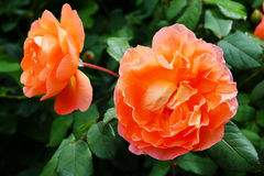 Flower of orange rose. stock images