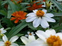 Flower. Orange white green Royalty Free Stock Photo
