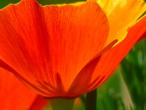 Flower, Orange, Wildflower, Poppy Stock Photography