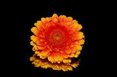 Flower, Orange, Yellow, Gerbera Royalty Free Stock Images