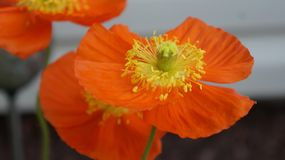 Flower, Orange, Yellow, Wildflower Royalty Free Stock Photography