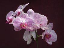 Flower - Orchid Royalty Free Stock Photo