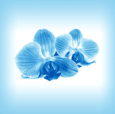 Flower  orchid in blue mist. Flower two orchid - phalaenopsis   in blue mist Royalty Free Stock Images