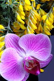 Flower of orchid with buds and flowers of broom Royalty Free Stock Image