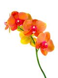 Flower orchid family of monocots Royalty Free Stock Images