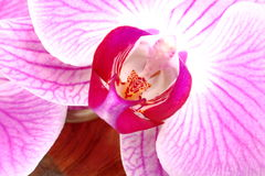 Flower of orchid Stock Images