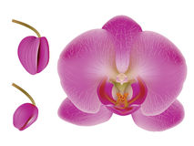 Flower Orchid Royalty Free Stock Images