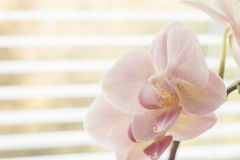 Flower of Orchid near a Window Stock Images