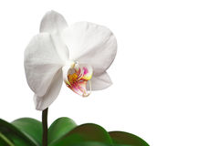 Flower orchid Stock Image