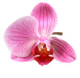 Flower orchid ( phalaenopsis ) Royalty Free Stock Image