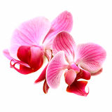 Flower orchid - phalaenopsis stock photos