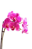 Flower orchid -  phalaenopsis Royalty Free Stock Photography