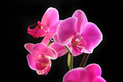 Flower orchid -  phalaenopsis Stock Photography