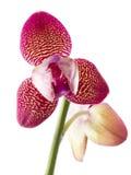 flower orchid phalaenopsis 库存图片