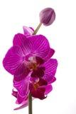 flower orchid phalaenopsis 图库摄影