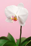 Flower orchid Stock Photography