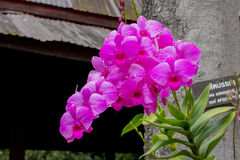 Flower orchids beautiful in Thailand. Stock Photo