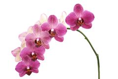 Flower orchids Royalty Free Stock Photography