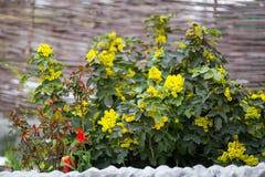 Flower Oregon grape,Flowering Mahonia aquifolium.Mahonia aquifolium Oregon-grape wild flower holly leaves, evergreen in spring ti. Me,Flowering bush, yellow stock photography