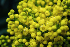 Flower Oregon grape,Flowering Mahonia aquifolium Oregon-grape wi. Ld flower holly leaves, evergreen in spring time,Flowering bush, yellow flowers,Clusters of royalty free stock images