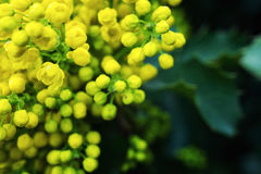 Flower Oregon grape,Flowering Mahonia aquifolium Oregon-grape wi. Ld flower holly leaves, evergreen in spring time,Flowering bush, yellow flowers,Clusters of stock images