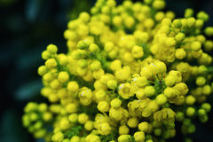 Flower Oregon grape,Flowering Mahonia aquifolium Oregon-grape wi. Ld flower holly leaves, evergreen in spring time,Flowering bush, yellow flowers,Clusters of royalty free stock photography