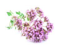 Flower of origanum Royalty Free Stock Image