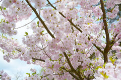 Flower ornamental cherry Royalty Free Stock Image