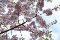 Flower ornamental cherry Royalty Free Stock Images