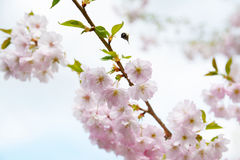 Flower ornamental cherry Stock Photography