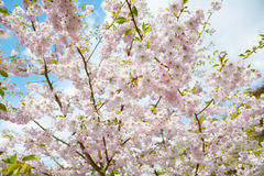 Flower ornamental cherry Royalty Free Stock Photography