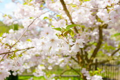 Flower ornamental cherry Royalty Free Stock Photos