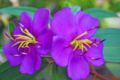 Flower of osbeckia Stock Image
