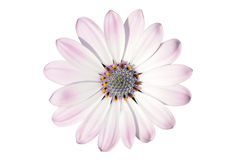 Flower of osteospermum Royalty Free Stock Image